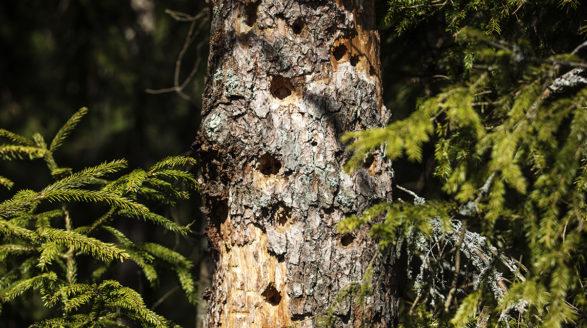 puunrunko, jossa lukuisia tikan reikiä